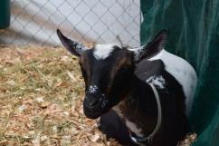 Goat-M011