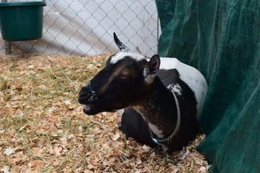 Goat-M012