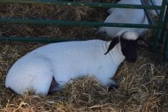 Sheep-M013