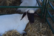 Sheep-M014