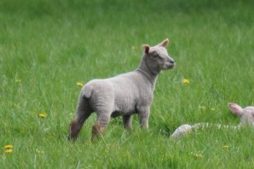 Sheep-M015