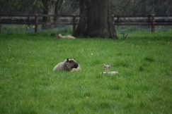 Sheep-M016