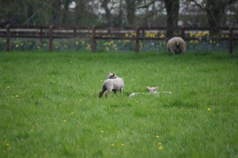 Sheep-M017