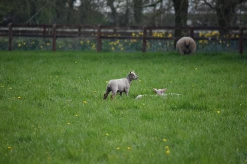 Sheep-M018