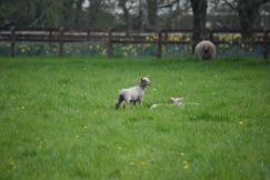 Sheep-M019