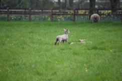 Sheep-M020