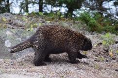 Porcupine-M021