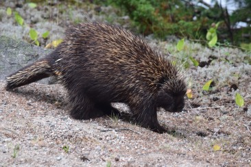 Porcupine-M024