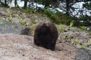 Porcupine-M031