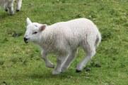Sheep-M033