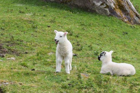 Sheep-M034