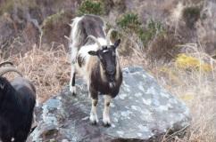 Goat-M035