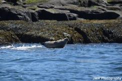 Harbor Seal-M036