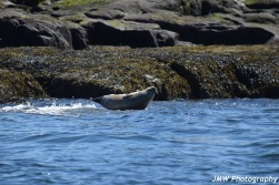 Harbor Seal-M036