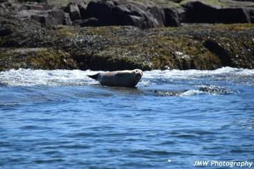 Harbor Seal-M037