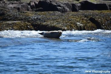 Harbor Seal-M037