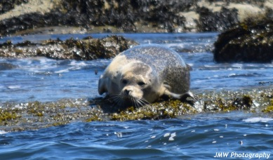 Harbor Seal-M038