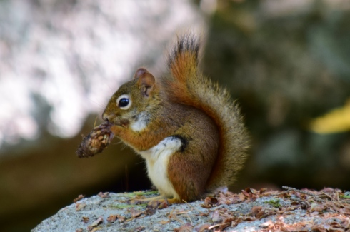 Red Squirrel-M039