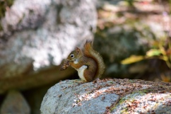 Red Squirrel-M040