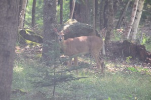 White Tailed Deer-M041