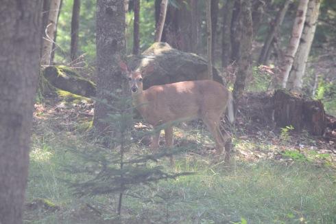 White Tailed Deer-M041