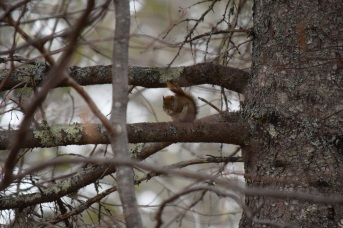 Red Squirrel-M045