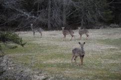 White Tailed Deer-M046