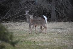 White Tailed Deer-M047