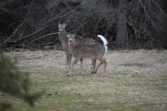 White Tailed Deer-M047