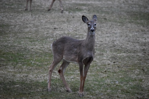 White Tailed Deer-M048