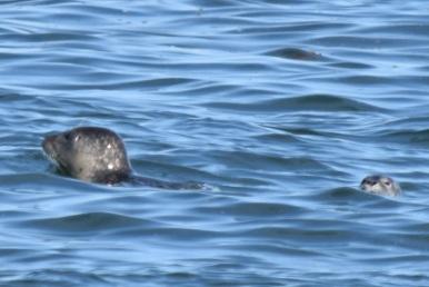 Harbor Seal-M049