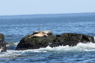 Harbor Seal-M050